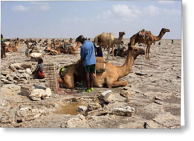 Preparing The Camel Greeting Card by Aidan Moran