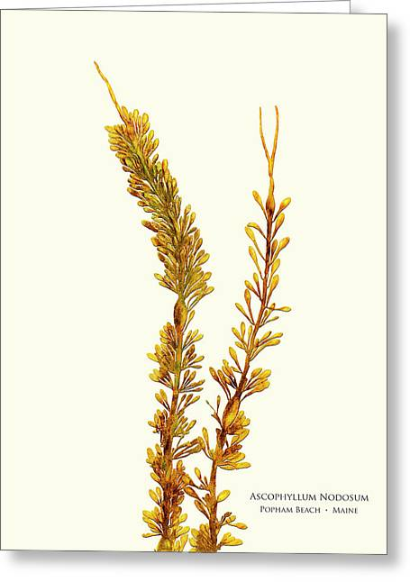 Pressed Seaweed Print, Ascophyllum Nodosum, Popham Beach, Maine. Greeting Card by John Ewen