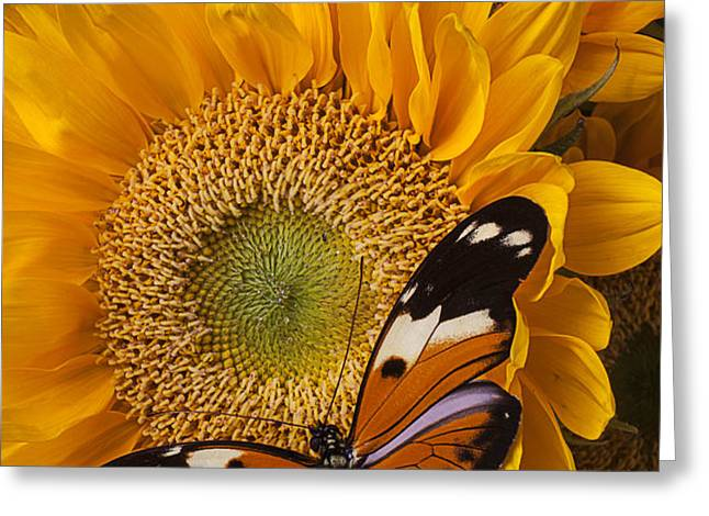 Pretty butterfly on sunflowers Greeting Card by Garry Gay