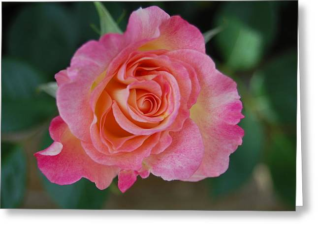 Rosebush Greeting Cards - Pretty in Pink Greeting Card by Helen Carson