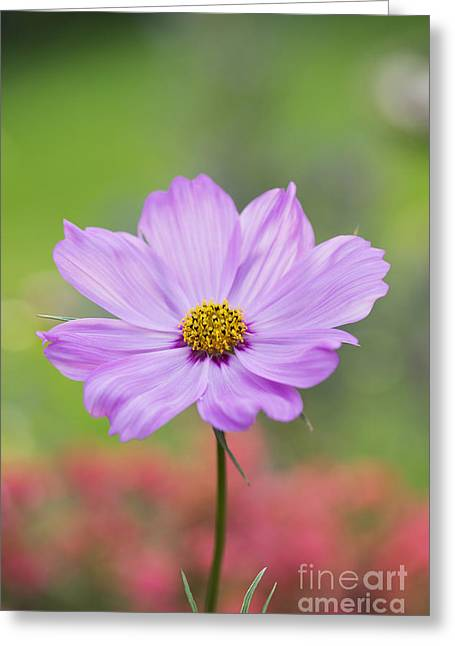 Aster Greeting Cards - Pretty in Pink Greeting Card by Tim Gainey
