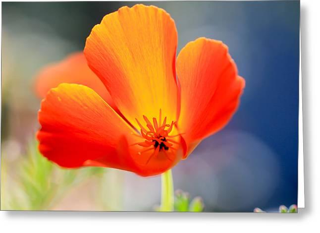 California Orange Poppy. Yellow Poppy Greeting Cards - Pretty Poppy Greeting Card by Heidi Smith