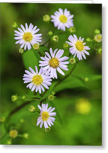 Asters Greeting Cards - Pretty Purple Aster Flowers Greeting Card by Christina Rollo