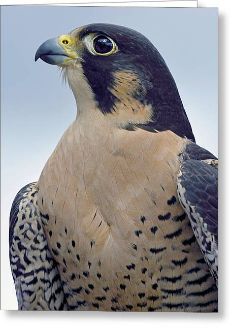 Peregrine Falcon Greeting Cards - Pride Greeting Card by Tony Beck