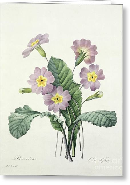 Belles Drawings Greeting Cards - Primrose Greeting Card by Pierre Joseph Redoute