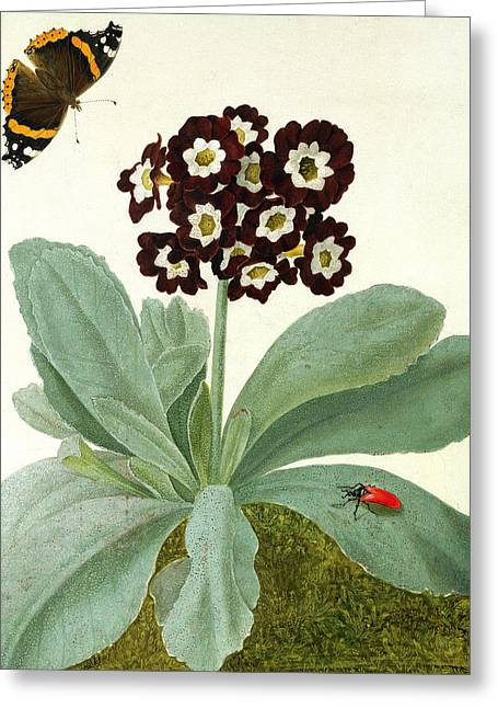 Butterfly In Flight Greeting Cards - Primula Auricula with Butterfly and Beetle Greeting Card by Matilda Conyers
