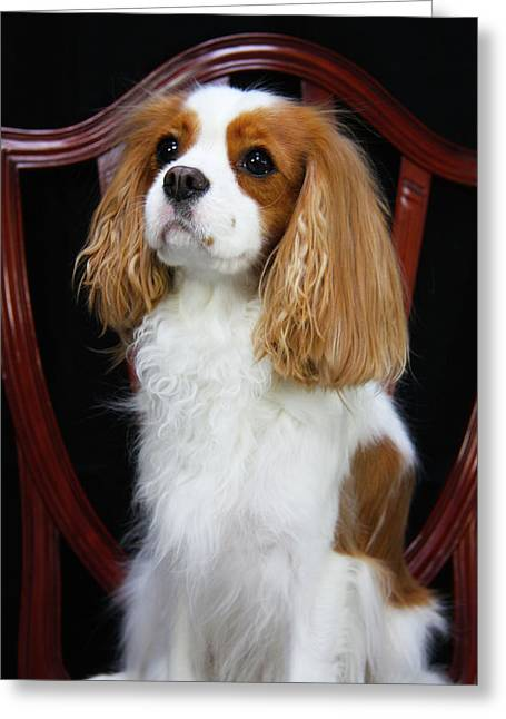 Spaniel Greeting Cards - Princess Fiona Greeting Card by Daphne Sampson