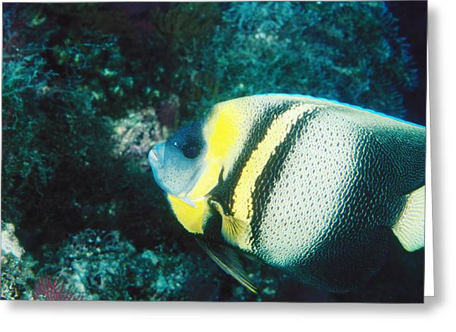Sea Of Cortez Greeting Cards - Profile Of A Cortez Angelfish Greeting Card by James Forte