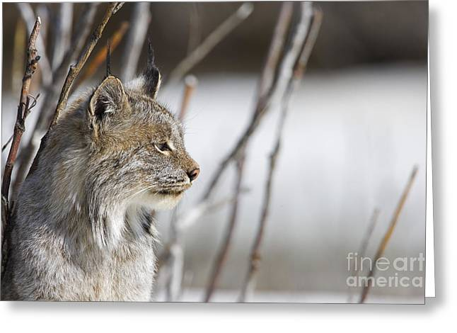 Lynx Greeting Cards - Profile of a Lynx Greeting Card by Tim Grams