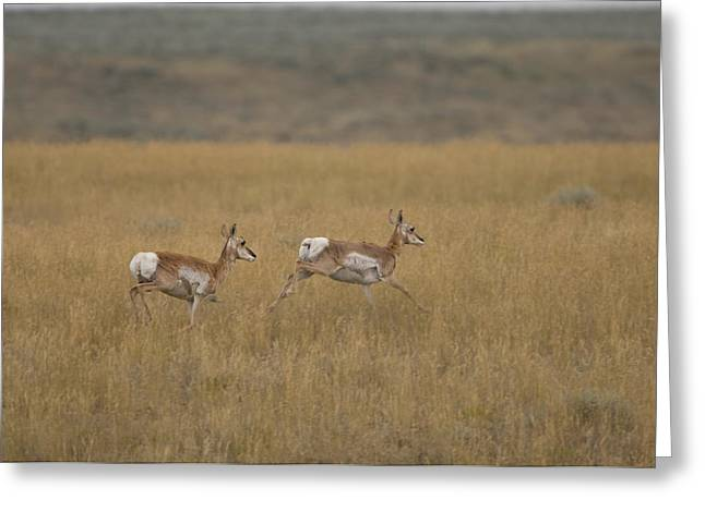 Pronghorn Antelope At The Charles M Greeting Card by Joel Sartore