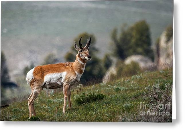 Grazing Snow Greeting Cards - Pronghorn Antelope Greeting Card by Robert Bales