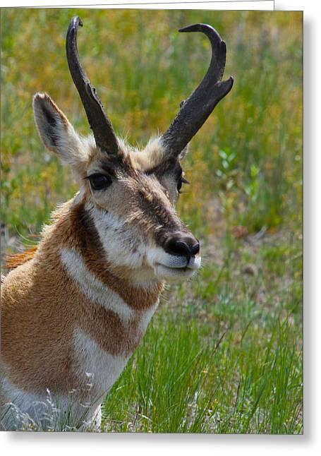 Pronghorn Greeting Cards - Pronghorn Buck Greeting Card by Karon Melillo DeVega