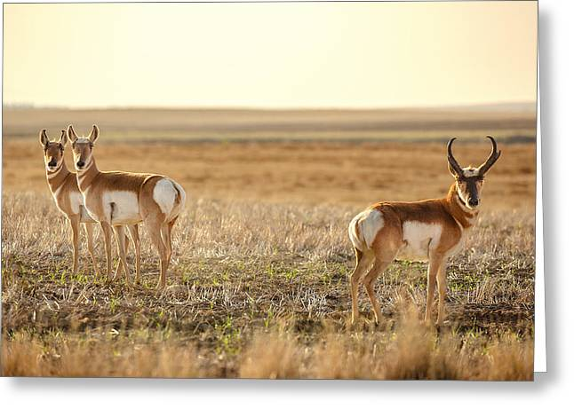 Pronghorn Pose Greeting Card by Todd Klassy