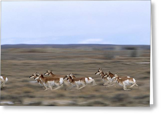 Panned Views Greeting Cards - Pronghorns Race Across A Section Greeting Card by Joel Sartore