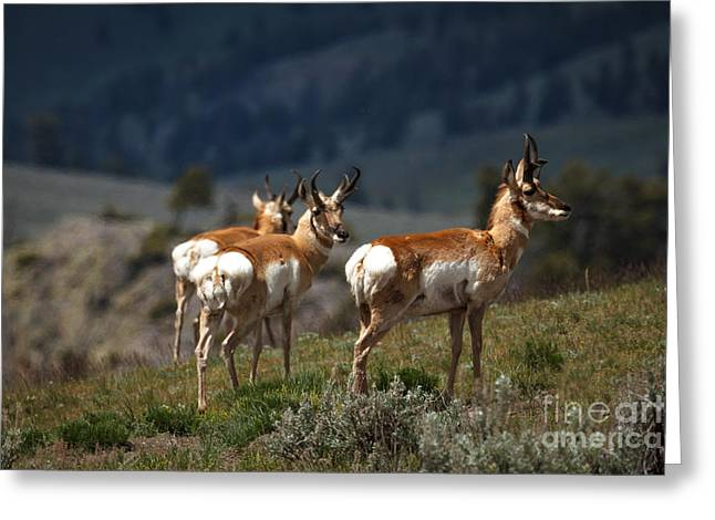 Grazing Snow Greeting Cards - Pronghorns Greeting Card by Robert Bales