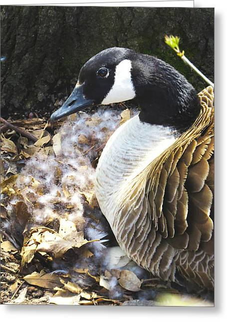Mother Goose Greeting Cards - Protective Mother Greeting Card by Craig Bohnert