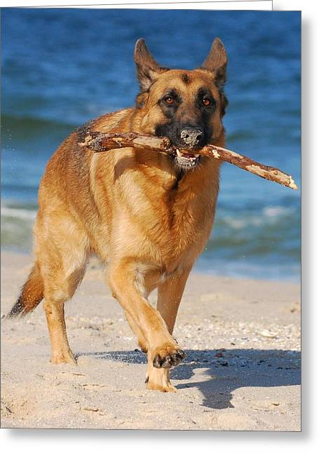 Dog Beach Card Greeting Cards - Proud and Happy - German Shepherd Dog Greeting Card by Angie Tirado
