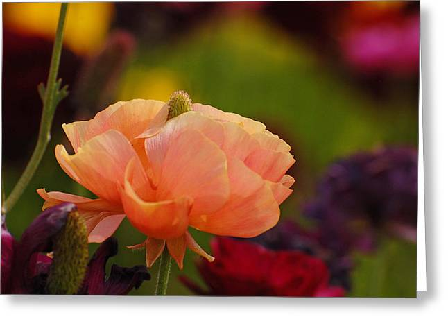 Subtle Colors Greeting Cards - Proud Beauty Greeting Card by Jean Booth
