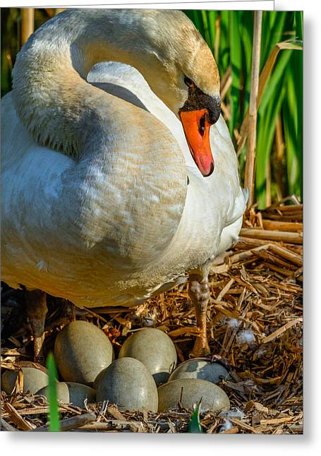 Caring Mother Greeting Cards - Proud Mom Swan Greeting Card by Brian Stevens