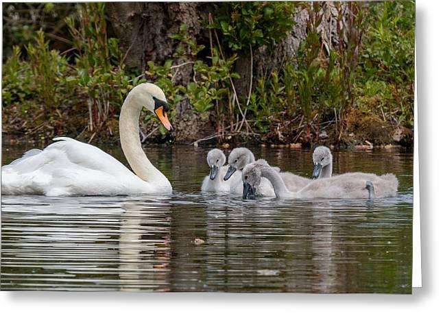 Swans... Greeting Cards - Proud swan Greeting Card by Katey jane Andrews