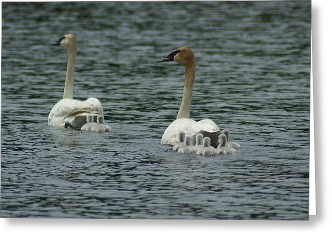 Proud Trumpeter Family Greeting Card by Ron Read