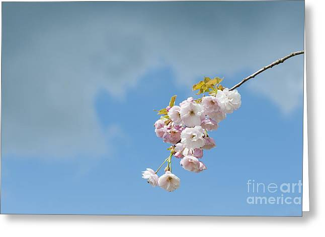 Fruit Tree Photographs Greeting Cards - Prunus Ichiyo Blossom  Greeting Card by Tim Gainey