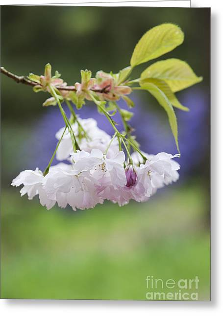 Fruit Tree Photographs Greeting Cards - Prunus Shujaku Blossom Greeting Card by Tim Gainey