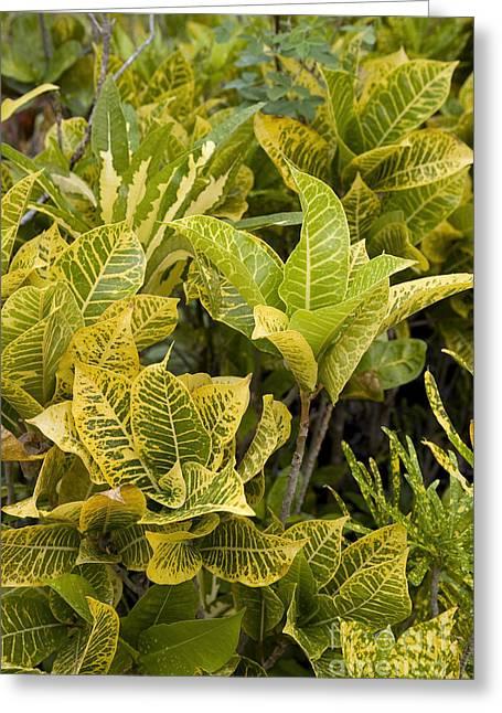 El Dorado Greeting Cards - Pseuderanthemum Carruthersii Greeting Card by Jean-Louis Klein & Marie-Luce Hubert