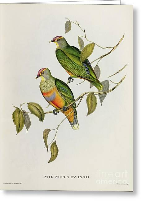 Gould Greeting Cards - Ptilinopus Ewingii Greeting Card by John Gould