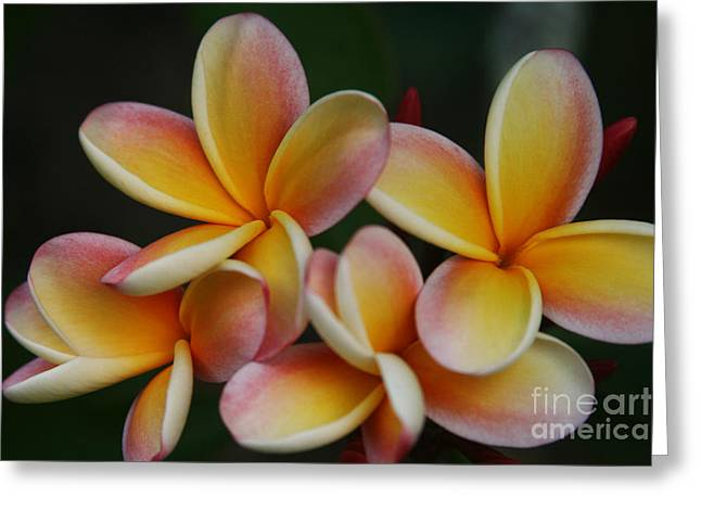 Lei Greeting Cards - Pua Melia Plumeria Kuulei Haiku Greeting Card by Sharon Mau