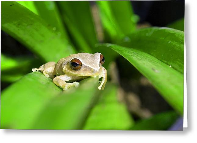Coqui Greeting Cards - Puerto Rican Coqui Greeting Card by Leo Miranda