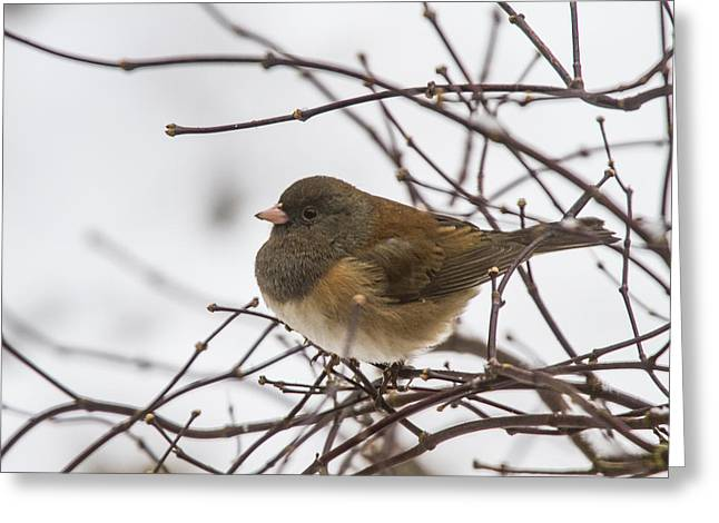 Puffed Up Junco Greeting Card by Jean Noren