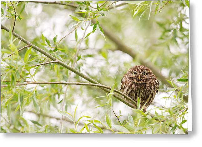 Puffy Greeting Cards - Puffed up Little Owl in a Willow Tree Greeting Card by Roeselien Raimond
