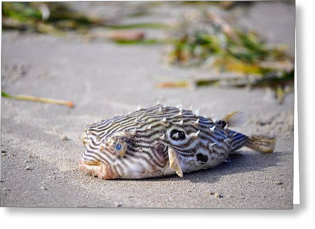 Puffer Greeting Cards - Puffer Fish Greeting Card by Kristina Deane
