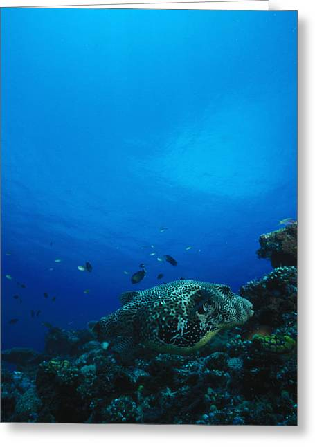 Solomon Greeting Cards - Pufferfish On Coral Reef Greeting Card by James Forte
