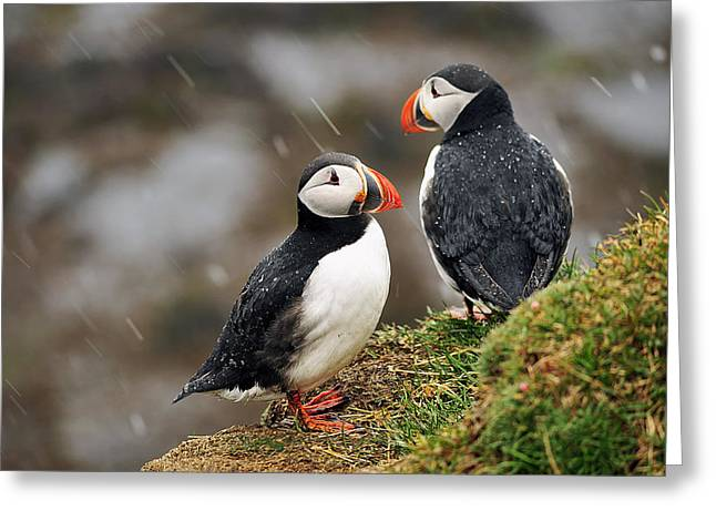 Puffin Couple Greeting Card by Wixmo