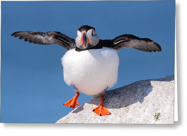 Preening Greeting Cards - Puffin Dance Greeting Card by Bruce J Robinson