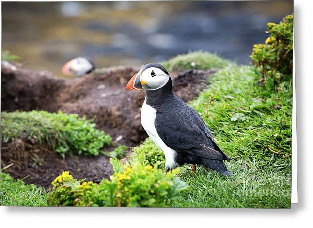 Puffin  Greeting Card by Jane Rix