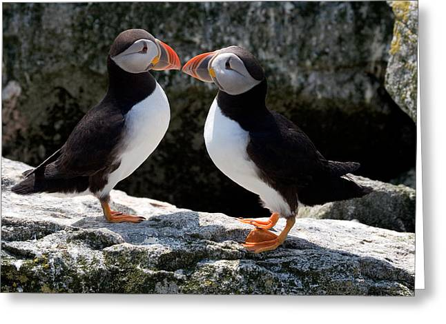 Brent L Ander Greeting Cards - Puffin Love Greeting Card by Brent L Ander
