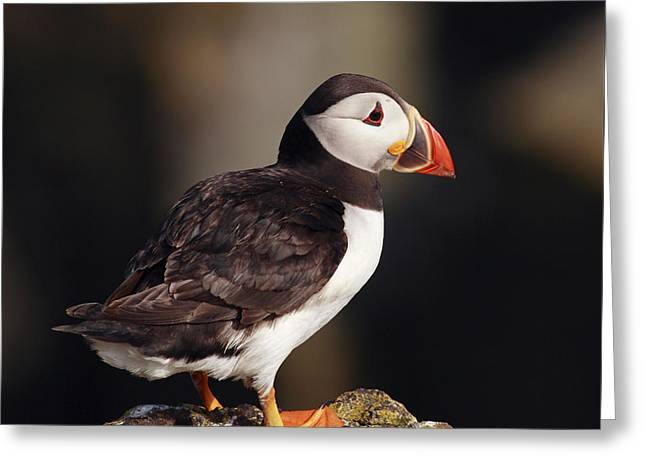 Atlantic Puffin Greeting Cards - Puffin on rock Greeting Card by Grant Glendinning