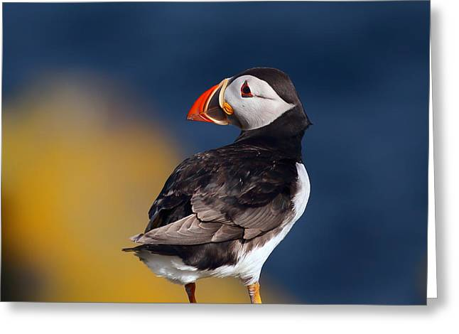 Seabirds Greeting Cards - Puffin perched on rock Greeting Card by Grant Glendinning