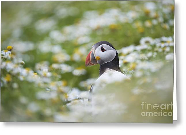 Diving Greeting Cards - Puffin Greeting Card by Tim Gainey