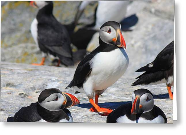 Puffins at Rest Greeting Card by John Burk