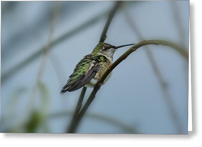 Migrating Hummingbird Greeting Cards - Pulling Guard Duty  Greeting Card by Francie Davis