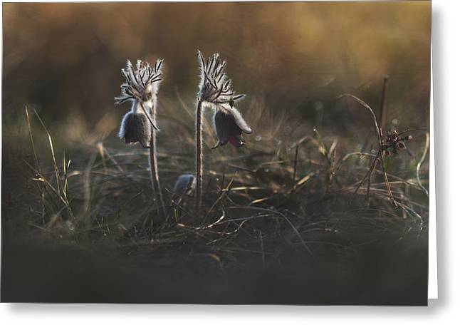 Macro Greeting Cards - Pulsatilla nigricans Greeting Card by Davorin Mance