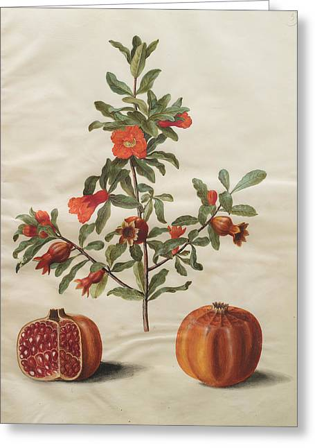 Punica Granatum Greeting Cards - Punica granatum Greeting Card by Celestial Images