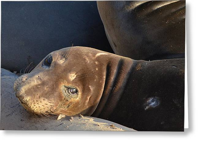 Big Sur Beach Greeting Cards - Pup Face Greeting Card by Meghan Pasquariello