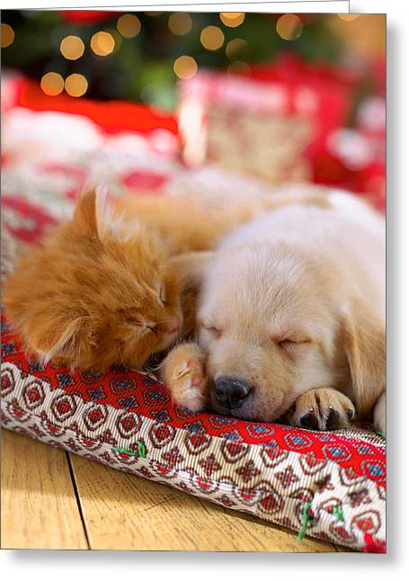 Sleeping Animals Greeting Cards - Puppy And Kitten Snuggling On Red Greeting Card by Gillham Studios