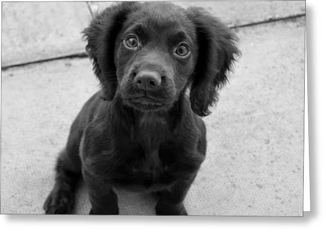Working Dog Greeting Cards - Puppy Eyes Greeting Card by Paul Day