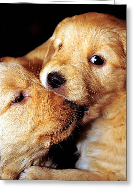 Puppy Eyes Greeting Cards - Puppy Love Greeting Card by Laura Mountainspring